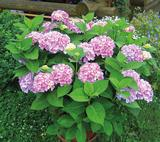 Jalohortensia Endless Summer