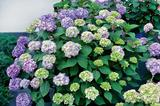 Jalohortensia Bloom Star