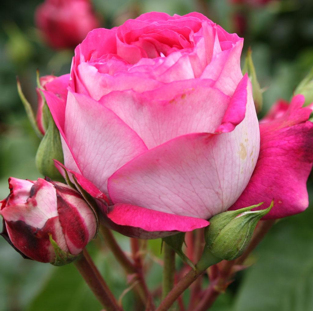 ruusun taimet