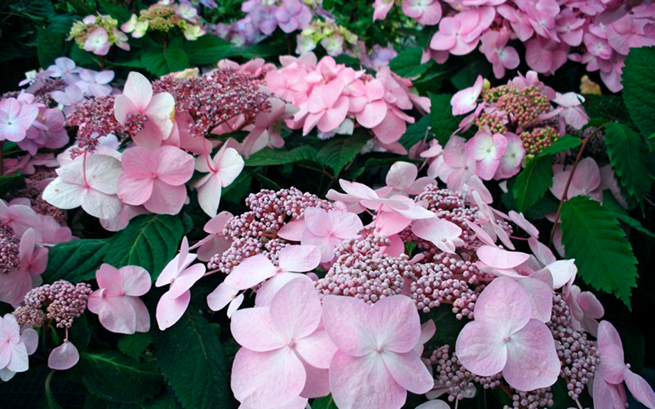 Jalohortensia Twist and Shout