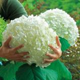 Pallohortensia Incrediball